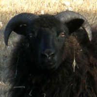 photo of listed lamb